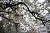 枝头绽放白色花朵
