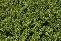 绿化植物底纹