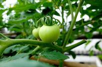 挂在枝头的西红柿