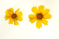 2朵金鸡菊高质感大图