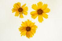 3朵黄色金鸡菊高清大图