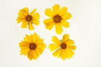 4朵黄色金鸡菊