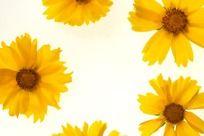 黄色金鸡菊高质感大图