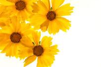 黄色金鸡菊高质感拍摄