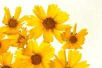 金色的金鸡菊