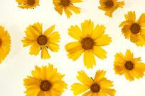 色彩艳丽的金鸡菊高清大图