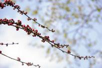 蓝天映衬下的梅花图片