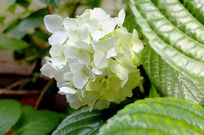 阳光下的白色绣球花