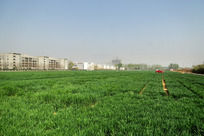 广褒的绿色麦地高清大图