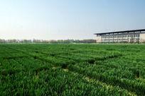 宽阔的绿色麦地高清大图
