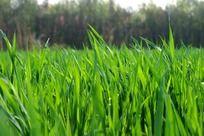 绿色麦地高清大图