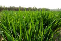 绿色麦苗大图