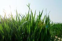 绿色麦苗高清大图