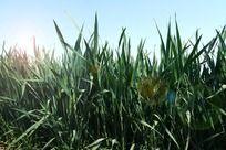 绿色麦苗高清拍摄