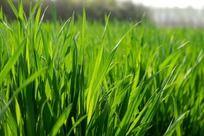 绿色麦苗高清摄影