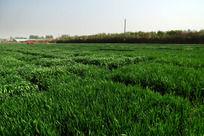 绿油油的麦地高清大图