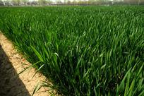 麦地高清大图