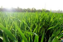 逆光的绿色麦田