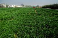 一望无际的绿色麦地高清大图