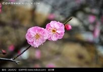 一枝红梅花