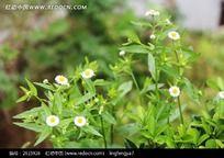 盛开的白菊花 白菊花 白花