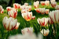 光感通透的紫白色郁金香花丛