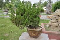 盆栽植物高清图