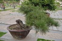 针叶松盆栽