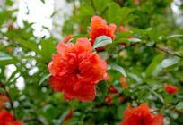 枝头一朵红石榴花