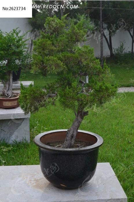 松树盆景图片,高清大图_树木枝叶素材