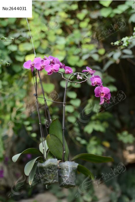 原创摄影图 动物植物 花卉花草 蝴蝶兰植物  请您分享: 红动网提供
