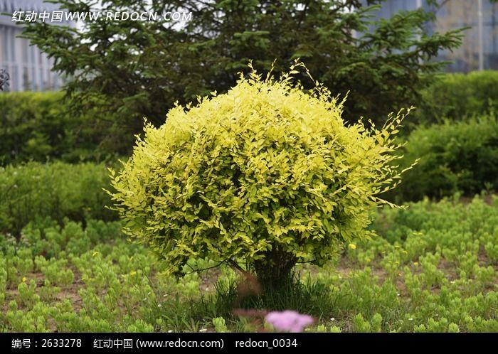 景观树图片,高清大图_花卉花草素材