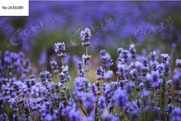蓝色花卉图片