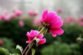 一株牡丹花