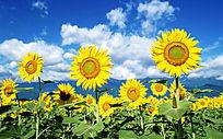 高清向日葵素材