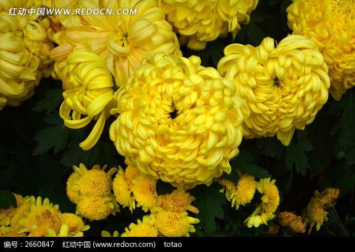 原创摄影图 动物植物 花卉花草 黄半球的菊花