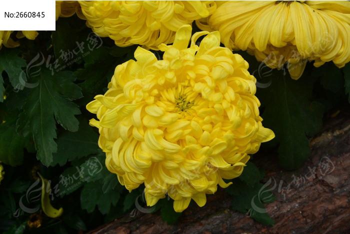 原创摄影图 动物植物 花卉花草 黄半球菊花