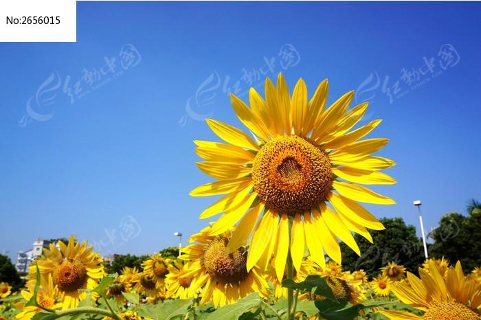 黄色向日葵花朵图片_动物植物图片