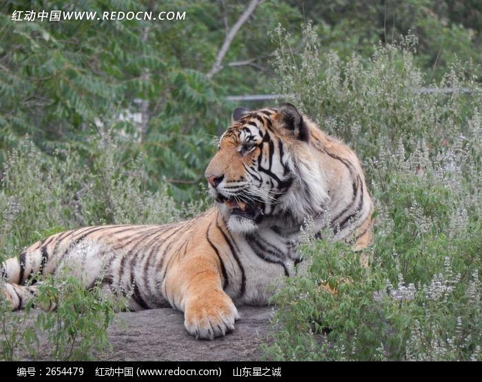 虎啸山林1图片,高清大图_陆地动物素材