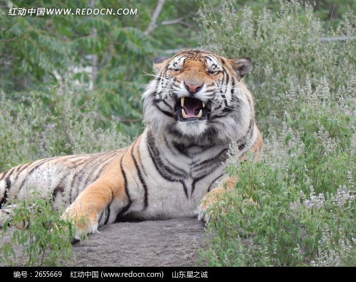 虎啸山林之发威图片_动物植物图片