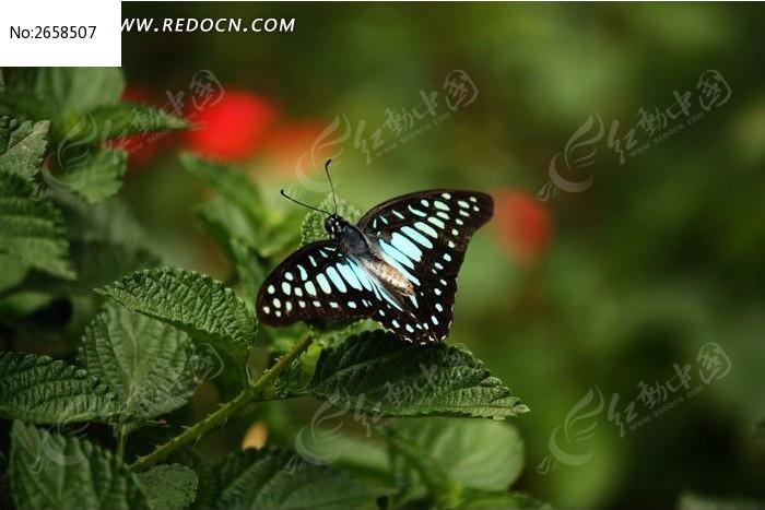 原创摄影图 动物植物 昆虫世界 蓝色斑点蝴蝶  请您分享: 红动网提供