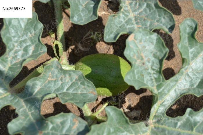 叶子下的西瓜图片