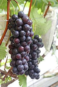 挂在葡萄藤上的黑紫色葡萄
