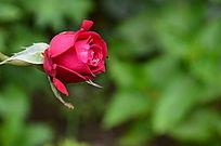 蓓蕾初开的玫瑰花