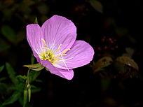 美丽的粉色四翅月见草