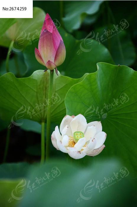 美丽的荷花图片_动物植物图片