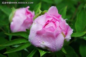 牡丹花花苞
