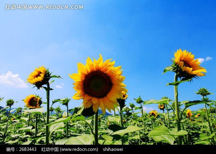 向日葵植物图片