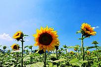 向日葵植物