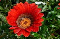 鲜艳的红色太阳花